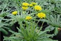 Russian Dandelions Could be a Potential New Source of Rubber